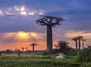 Landskap med baobabtrær på Madagaskar