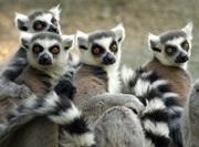 Lemurer på regnskogbevaringsprosjektet på Madagaskar