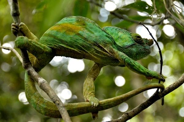 A large chameleon at the Conservation project in Madagascar