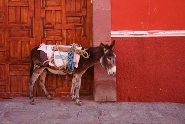 Mule in Guadalajara