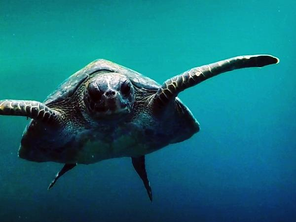 A sea turtle in the Galapagos Islands