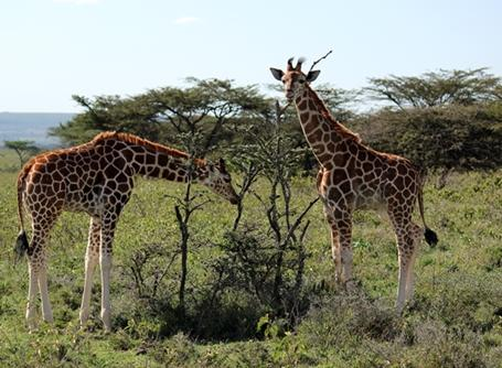 Two giraffes grazing in a field in Kenya