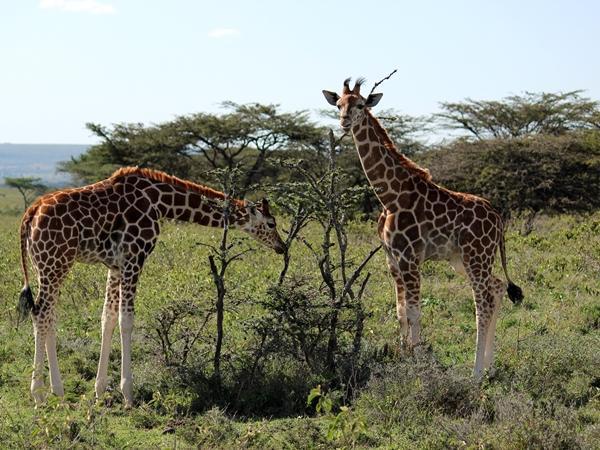 Two giraffes grazing in a field in Kenya
