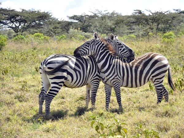 Two zebras at a park in Kenya