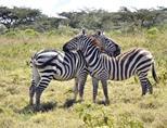 Two zebras at a park in Kenya