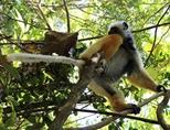 A photograph of an indigenous lemur living on Madagascar.