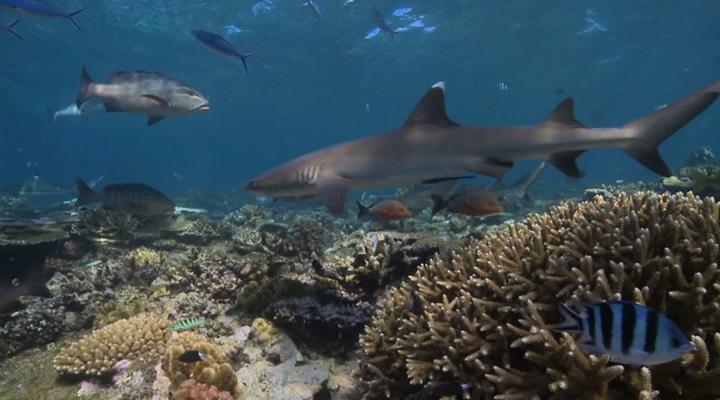 Shark Conservation Volunteer Project in Fiji