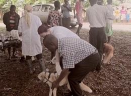 Veterinary Medicine Internship in Ghana