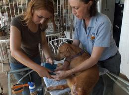 Veterinary Medicine and Animal Care Volunteer Project in Jamaica