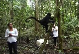 Ecovolontariat et environnement - libération de singes araignées au Pérou