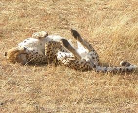 Ein Gepard im Masai Mara Nationalpark