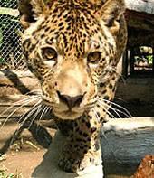 Peru, Regenwald, Jaguar