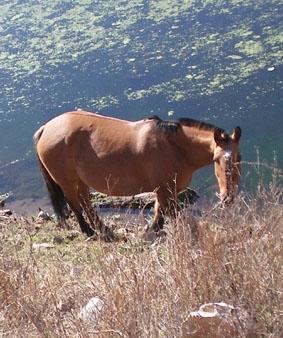 Argentinien-Medizin-Pferd