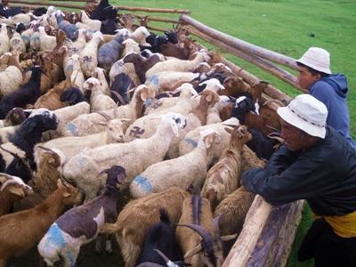 Tiere der Nomaden-Familie in der Mongolei