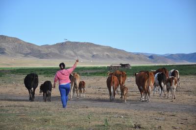 Gastmutter treibt Kühe vorwärts