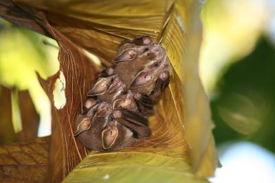 fruchtfressende Fledermäuse im Blattnest