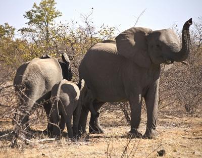 naturschutz-botswana-elefanten-1