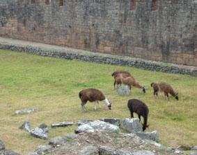 peru-inka-projekt-lamas