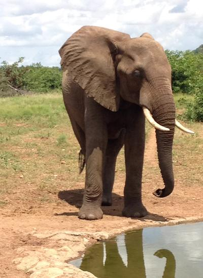 Elefant im Naturschutz – Projekt Projects Abroad