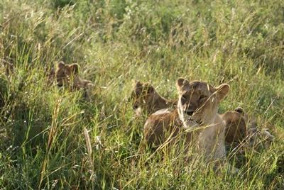 kenia-naturschutz-lowe