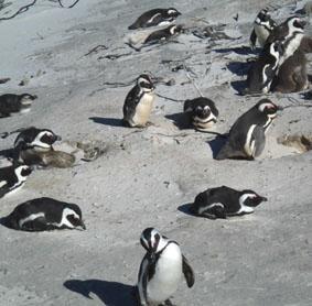 sudafrika-tierpflege-pinguine