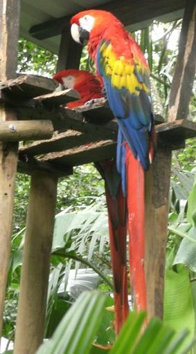 costa-rica-unterrichten-papagei