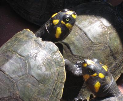 peru-naturschutz-schildkroten