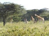kenia-naturschutz-wildlife-safari-giraffen