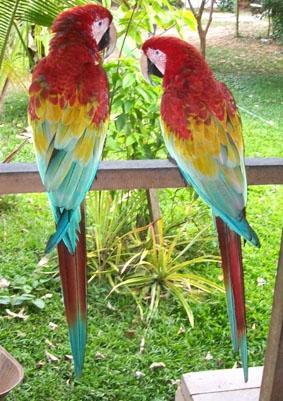 peru-naturschutz-papgei