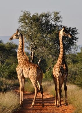 naturschutz-südafrika-giraffe