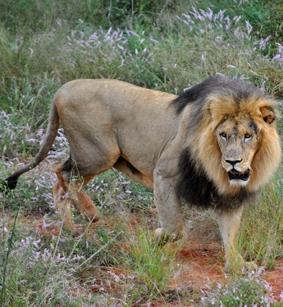 naturschutz-südafrika-löwe
