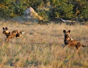 naturschutz-südafrika-wildhund