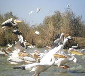 senegal-menschenrechte-pelikane