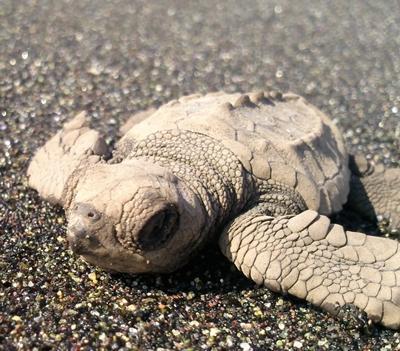 Mexiko-Naturschutz-Schildkröte