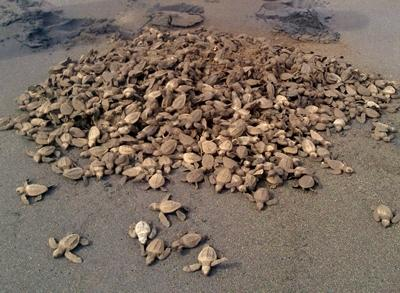 Mexiko-Naturschutz-Schildkröten