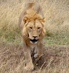 tansania-unterrichten-safari
