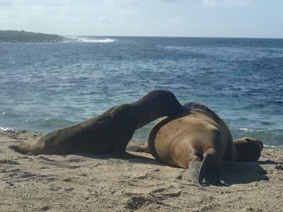 Søløver på stranden i Ecuador