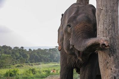 Elefant i Nepal