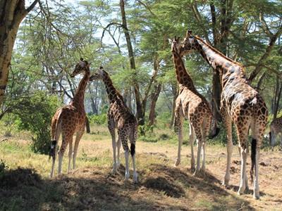 Dyreliv i Kenya