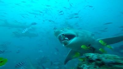 Undervandsbillede af Citronhaj i Fiji