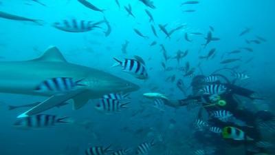 Sølvtippet haj på jagt efter mad i Fiji