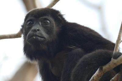 Abe i træ i Costa Rica