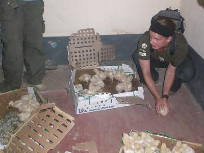 Caring for newborn chicks
