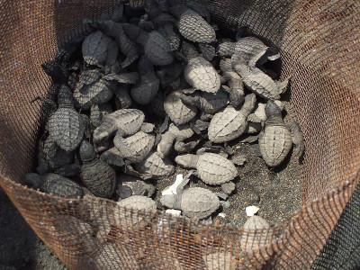 Just hatched baby turtles