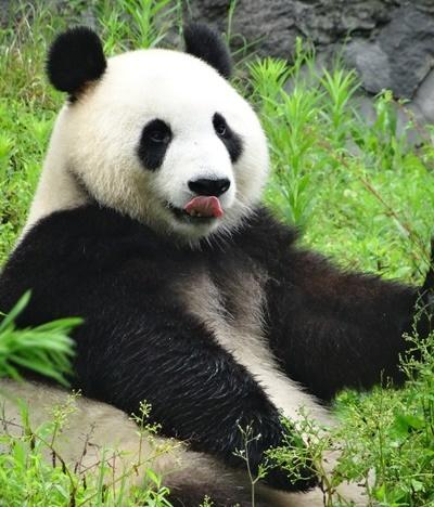 Panda at Dujiangyan Panda Base