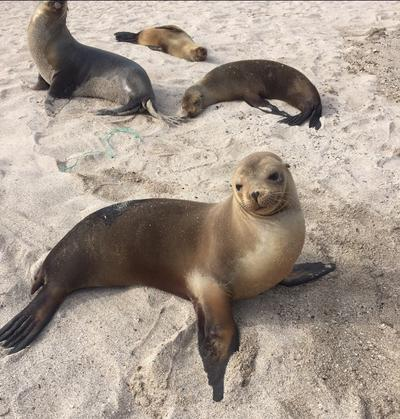 Seals relax on a  public beach in Ecuador