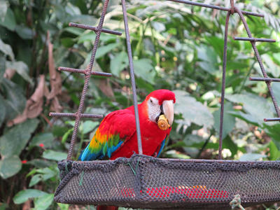 A scarlett macaw eating at the Conservation placement