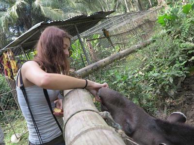 A volunteer feeding a tapir