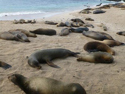 Sea lions on a beach in Ecuador