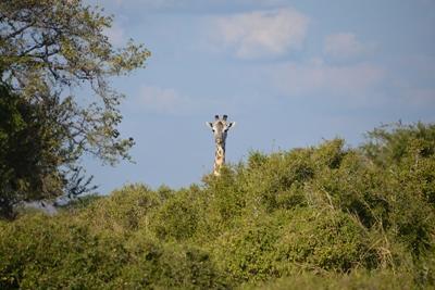 Giraffe in Tanzania